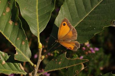 Pyronia tithonus
